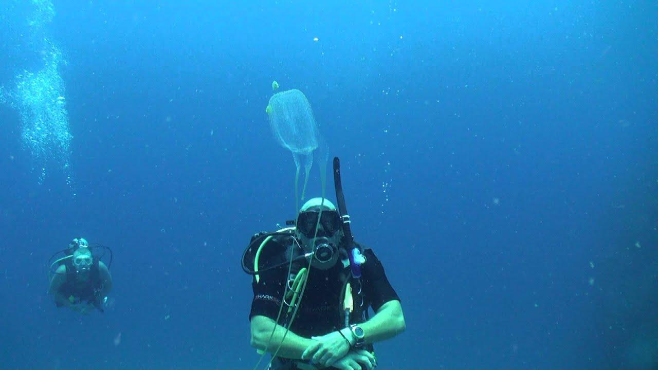 Box Jellyfish Chironex Diving Thailand Sail Rock Underwater Video Medium