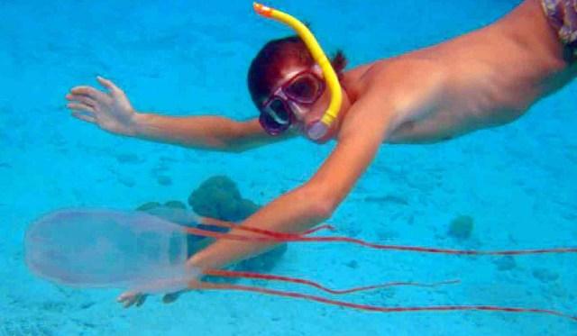 Ohboya It S The Bonaire Banded Box Jellyfish A New Species Medium
